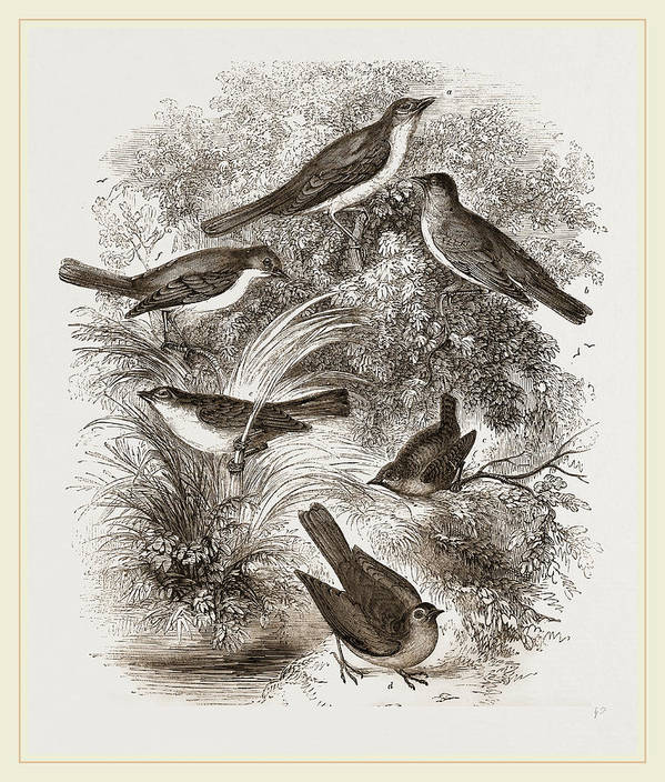 Group O' British Warblers Art Print featuring the drawing Group O British Warblers by Litz Collection