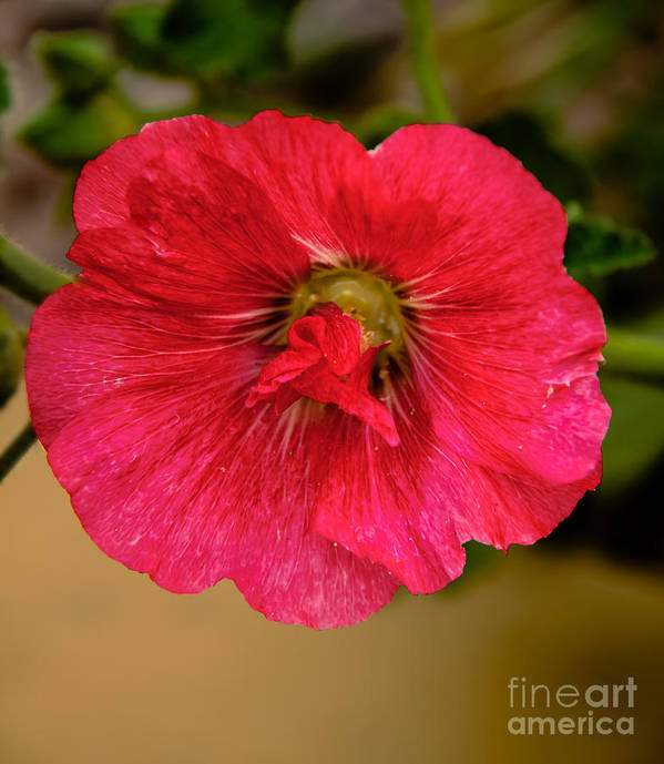 Alcea Art Print featuring the photograph The Red One by Robert Bales