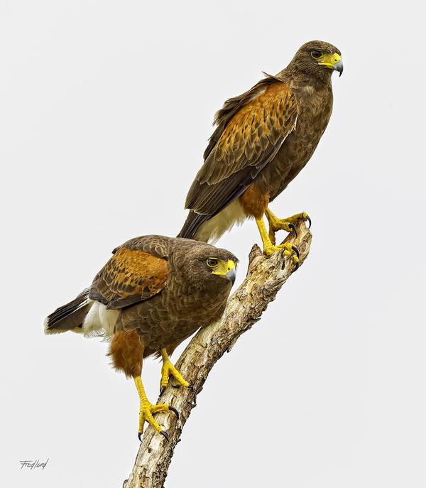 Hawk Art Print featuring the photograph Harris' Hawk Pair by Fred J Lord
