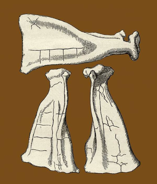 Scapula Art Print featuring the photograph Kalmyk Bone Divination Scapulas, Artwork by Sheila Terry