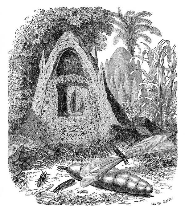 Termite Print featuring the photograph Termite Mound And Castes by