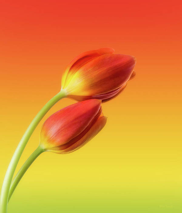 Tulips Art Print featuring the photograph Colorful Tulips by Wim Lanclus