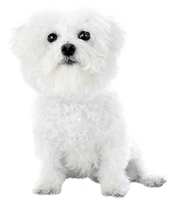 Art Print featuring the photograph Fifi The Bichon Frise In White On White by Michael Ledray