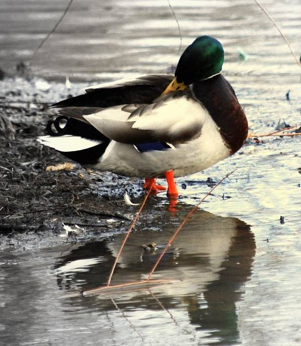 Mallard Art Print featuring the photograph Groomer by Trudi Southerland