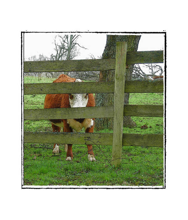 Cow Art Print featuring the photograph LZ by Robert Boyette