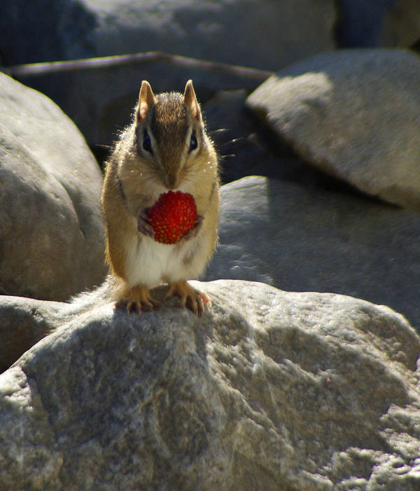 Chipmunk Art Print featuring the photograph Strawberry Lunch by Lisa Hebert