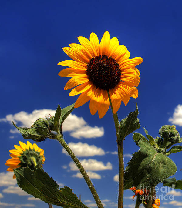 Landscape Art Print featuring the photograph Sunflower by Pete Hellmann