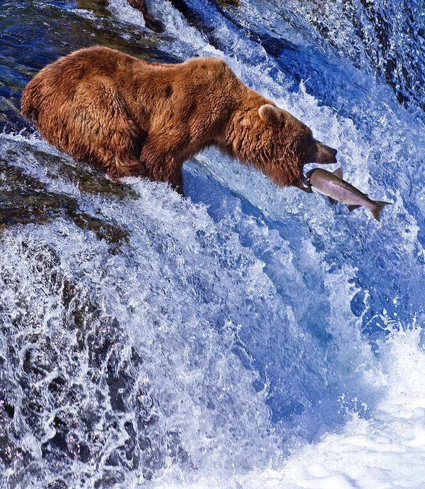 Grizzly Art Print featuring the photograph Grizly Bears At Katmai National Park by Gleb Tarro