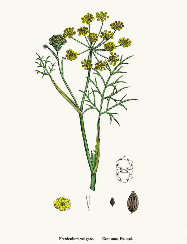 White Background Art Print featuring the digital art Fennel Plant Scientific Illustration by Mashuk