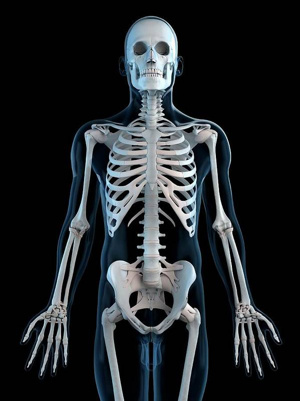 Physiology Art Print featuring the digital art Human Skeleton, Artwork by Sciepro
