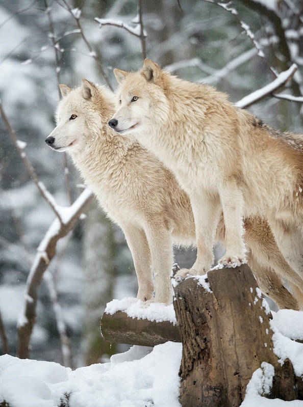 Snow Art Print featuring the photograph Arctic Wolves Pack In Wildlife, Winter by 4fr