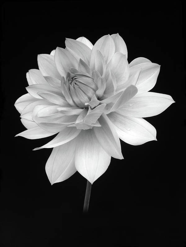 Haslemere Art Print featuring the photograph Dahlia In Gentle Shades Of Grey by Rosemary Calvert
