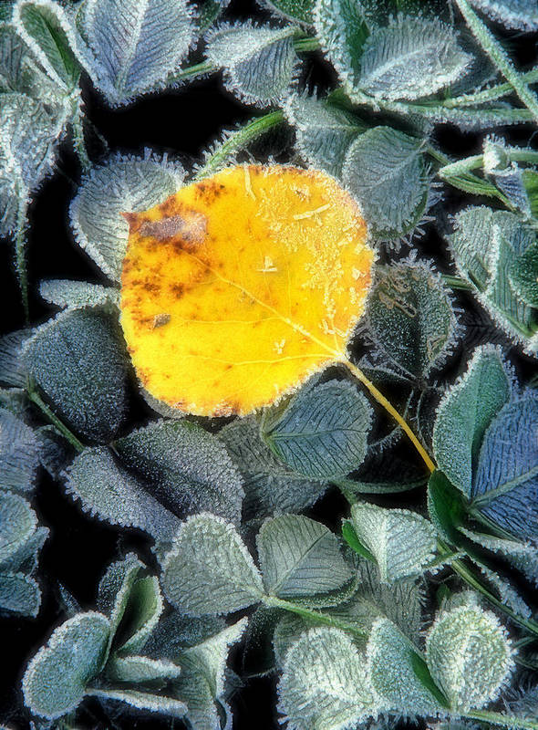 First Frost Art Print featuring the photograph Gold On Green by Bill Morgenstern