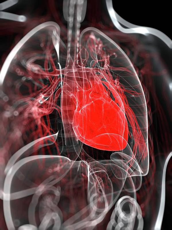 Physiology Art Print featuring the digital art Heart Anatomy, Artwork by Sciepro