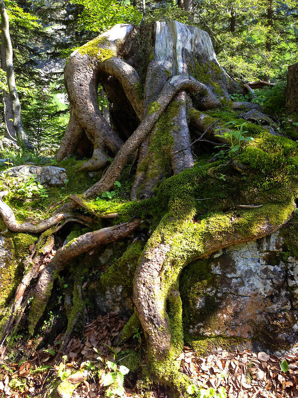 Knarly Art Print featuring the photograph Knarly Old Tree Stump Switzerland by PIXELS XPOSED Ralph A Ledergerber Photography