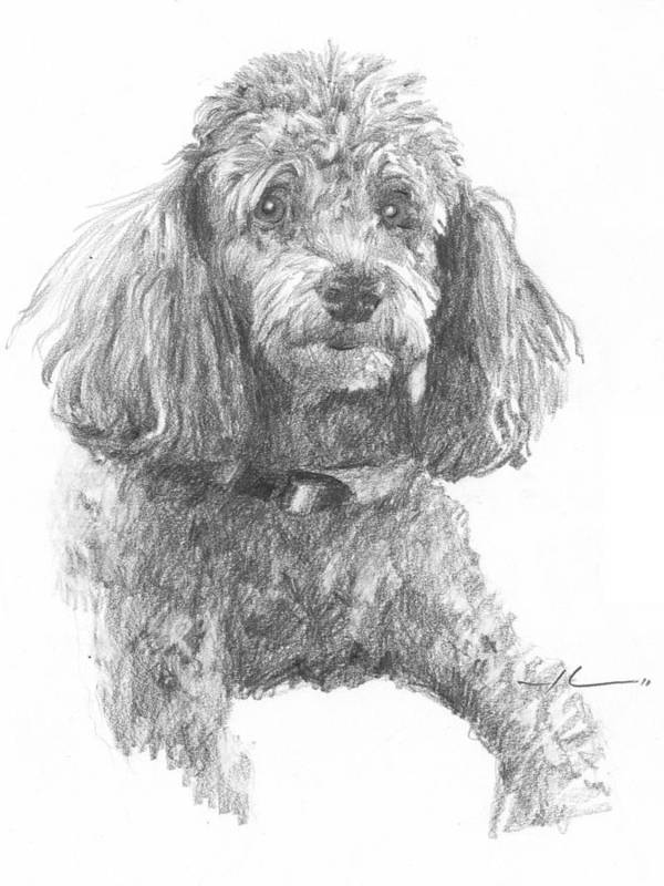 <a Href=http://miketheuer.com Target =_blank>www.miketheuer.com</a> Poodle Pencil Portrait Art Print featuring the drawing Poodle Pencil Portrait by Mike Theuer