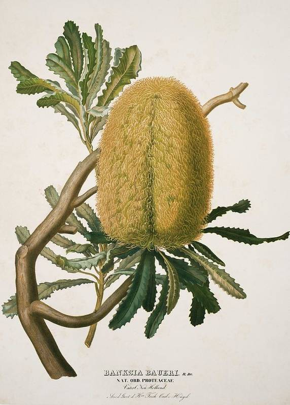 Woolly Banksia by Natural History Museum, London/science Photo Library