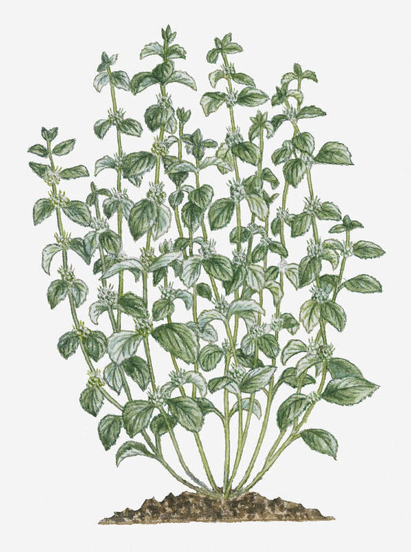 Vertical Art Print featuring the digital art Illustration Of Marrubium Vulgare (white Horehound) Bearing Clusters Of White Flowers And Grey-green Leaves On Tall Stems by Debra Woodward