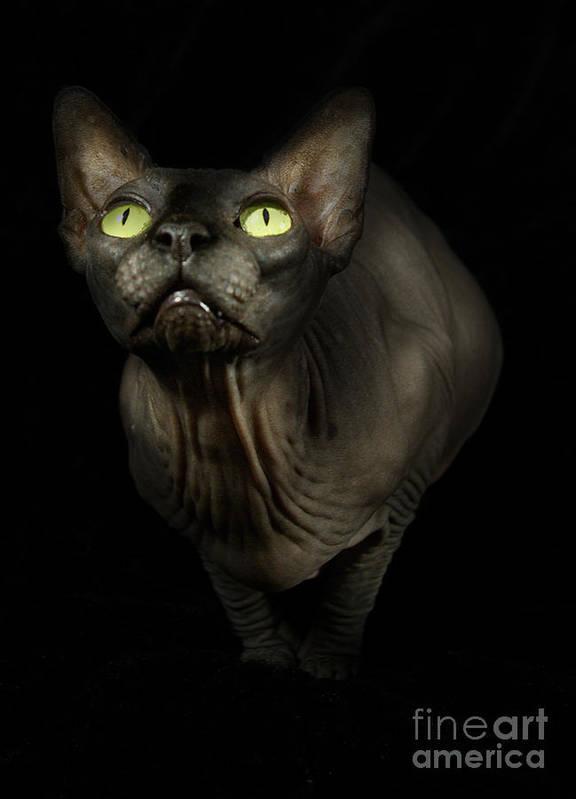 Hairless Cat Art Print featuring the photograph Sphynx Cat Portrait by Glenda Wright