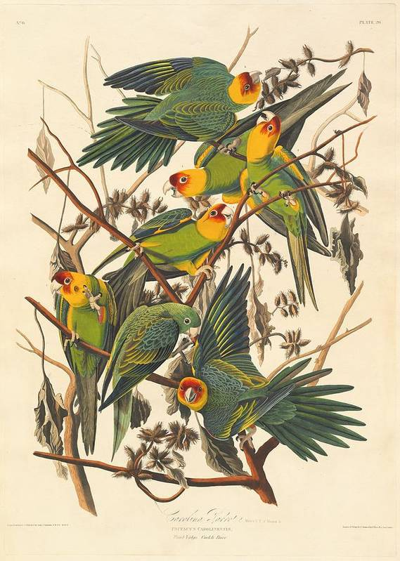 Audubon Art Print featuring the drawing Carolina Parrot by Dreyer Wildlife Print Collections