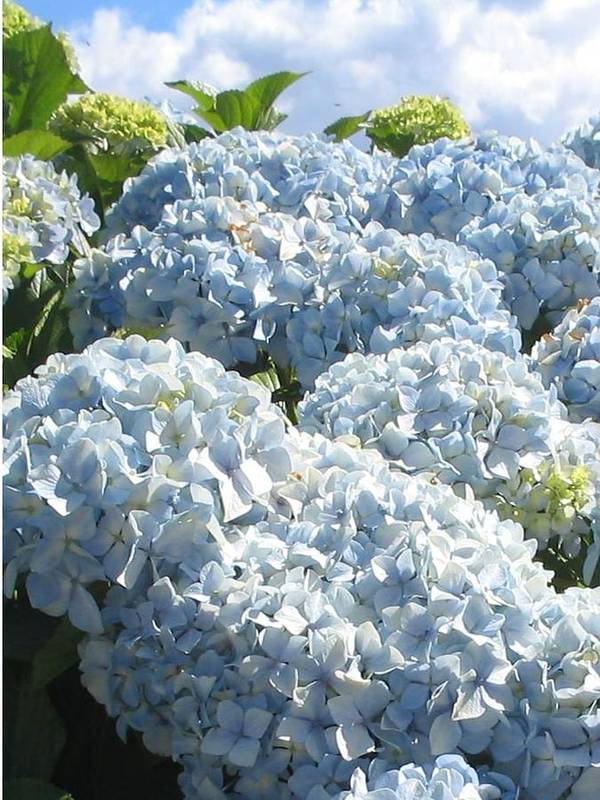 Blue Hydrangea Art Print featuring the photograph Hydrangeas by Valerie Josi