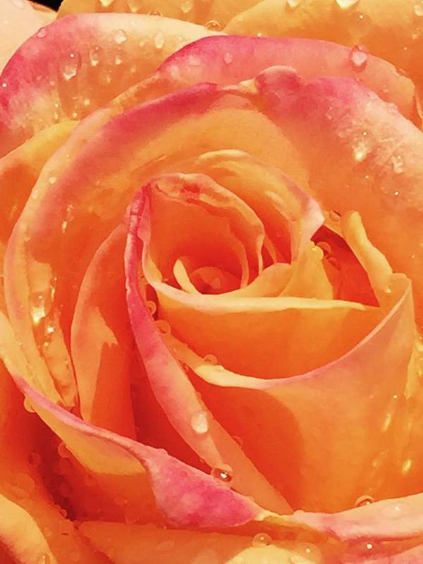 Rose Art Print featuring the photograph Raindrops and Petals by Beverly Johnson