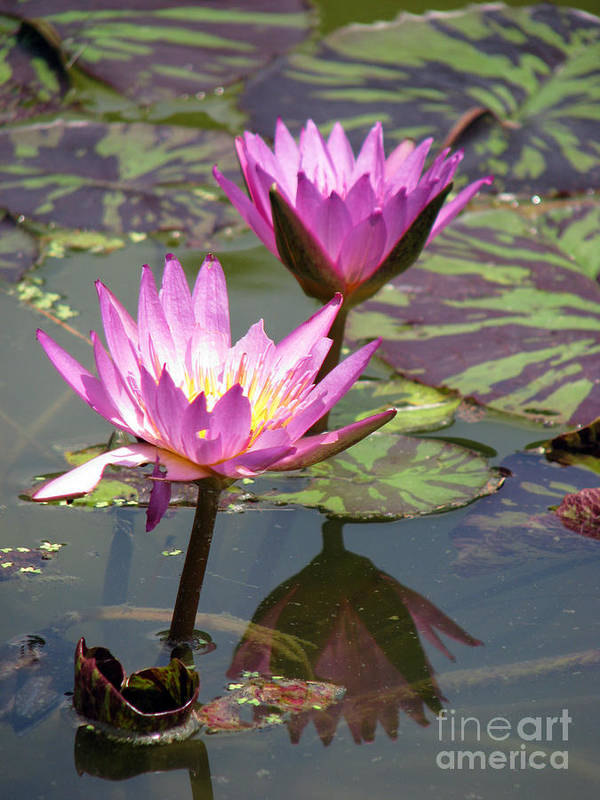 Lillypad Art Print featuring the photograph The pond by Amanda Barcon
