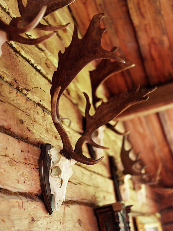 Horned Art Print featuring the photograph Antler Collection On Wall by Granefelt, Lena