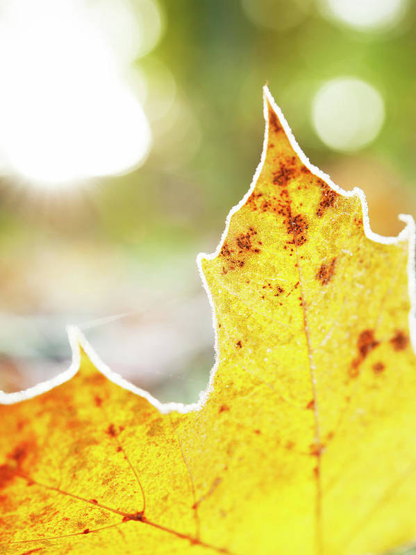 Scenics Art Print featuring the photograph Frost On Autumn Leaf, Detail by Johner Images
