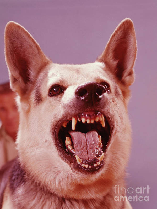 Snarling Art Print featuring the photograph German Shepherd Dog Snarling by H. Armstrong Roberts