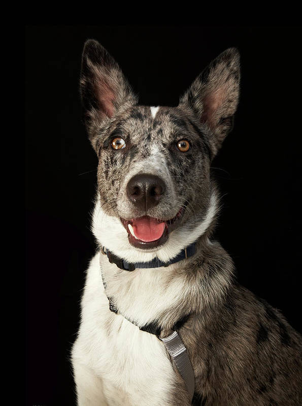 Pets Art Print featuring the photograph Grey And White Australian Shepherd With by M Photo