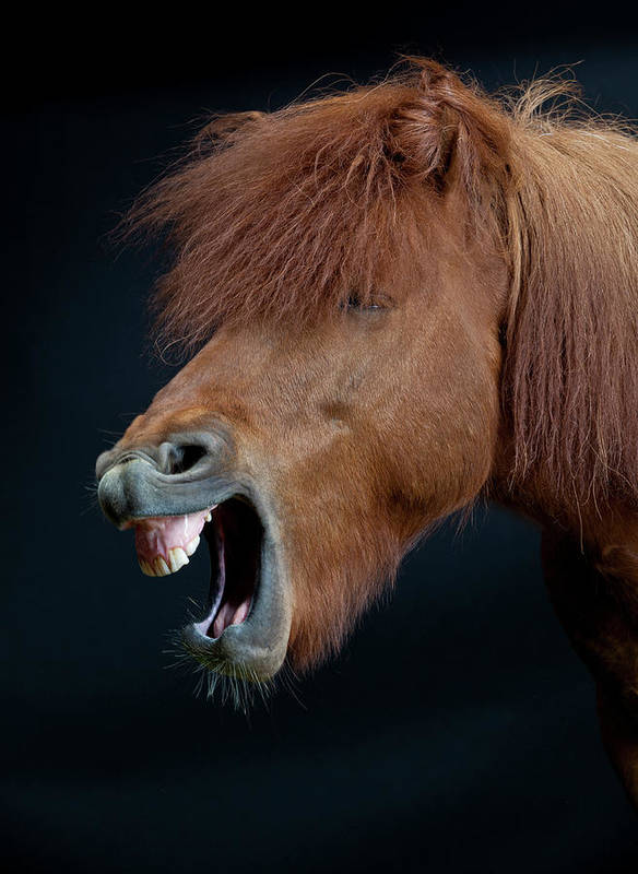 Horse Art Print featuring the photograph Horse Showing Teeth, Laughing by Arctic-images