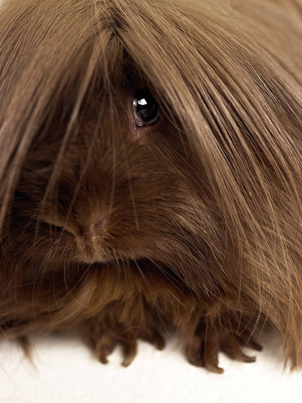 Pets Art Print featuring the photograph Long Haired Guinea Pig, Close-up by Michael Blann