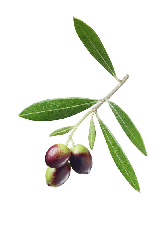 White Background Art Print featuring the photograph Olives On Branch by Lauren Burke