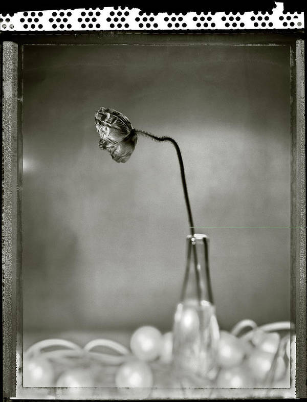 Fragility Art Print featuring the photograph Poppy - Just Opened by T Scott Carlisle