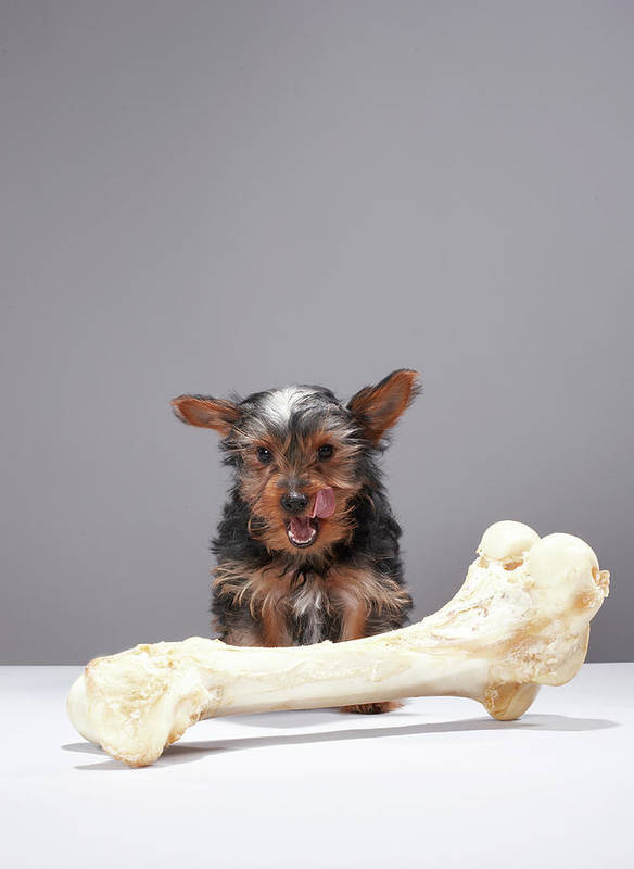 Pets Art Print featuring the photograph Puppy With Oversized Bone by Martin Poole