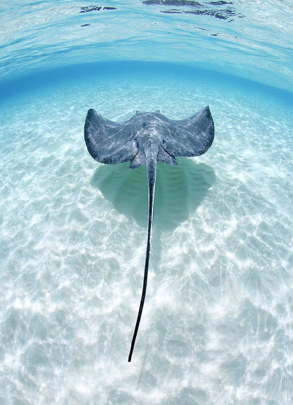 Underwater Art Print featuring the photograph Southern Stingray Cayman Islands by Justin Lewis