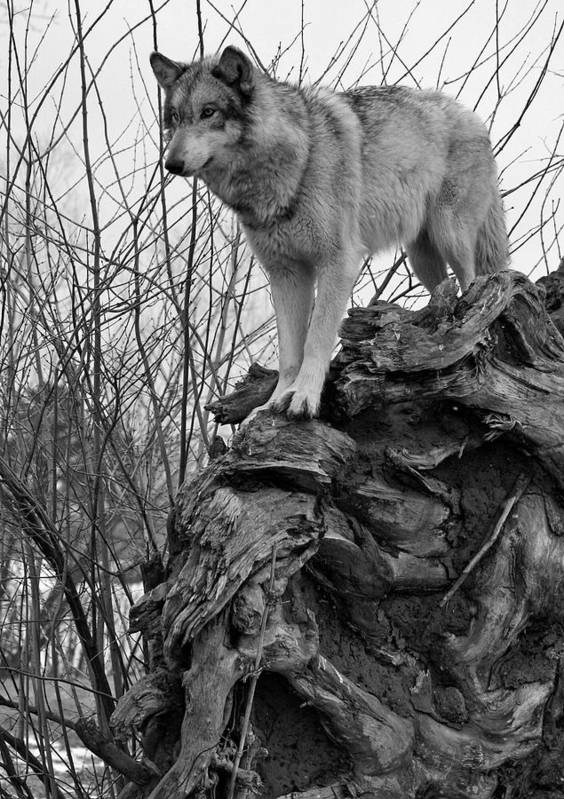 Black White Wolf Wolves Animal Wildlife Mammal Photography Photograph Canis Lupis Grey Timberwolf Art Print featuring the photograph On Top by Shari Jardina