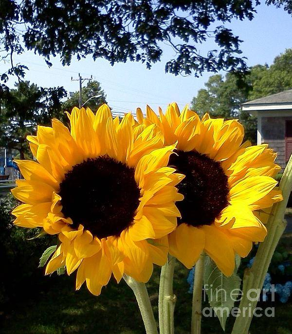 Sunflowers Art Print featuring the photograph Two Sunflowers by Rita Brown