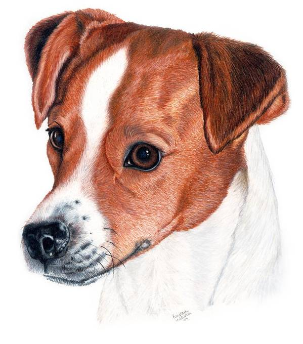 Jack Russell Terrier Art Print featuring the drawing Lewie by Kristen Wesch