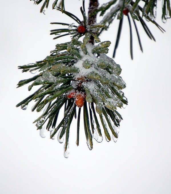 Winter Art Print featuring the photograph Scots Pine And Ice by Lisa Kane
