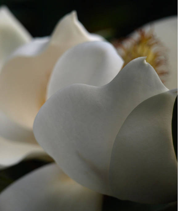 Magnolia Art Print featuring the photograph Soft White by Kim