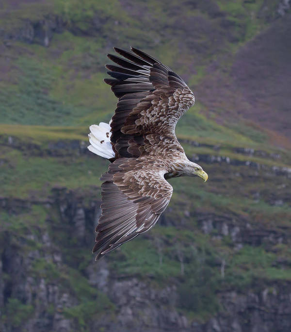 White-tailed Eagle Art Print featuring the photograph White-tailed Eagle Banks by Peter Walkden
