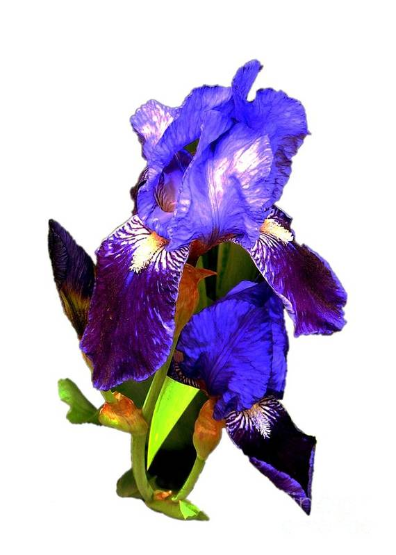 Greeting Cards Art Print featuring the digital art Iris On White by Dale  Ford