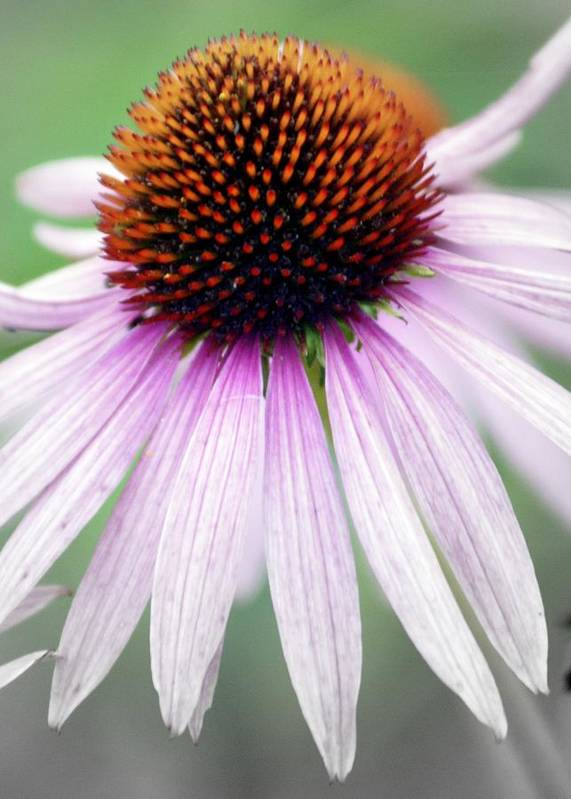 Flowers Art Print featuring the photograph Pale Grey by Marty Koch