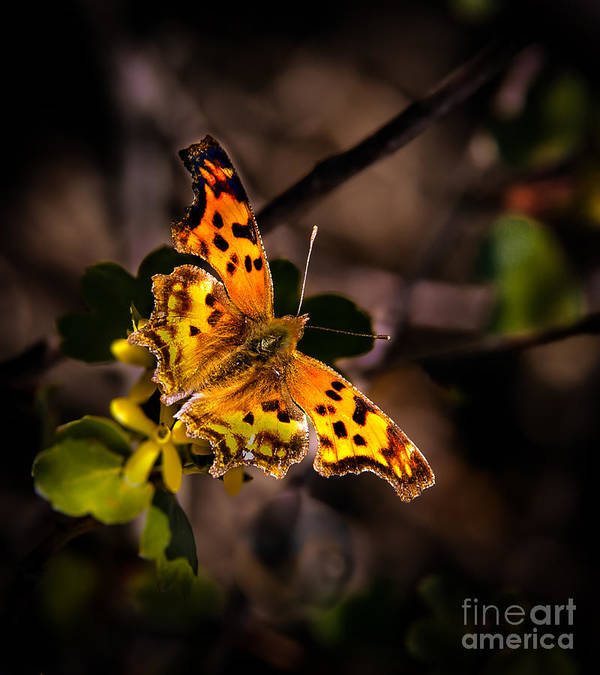 Butterfly Art Print featuring the photograph American Lady by Robert Bales