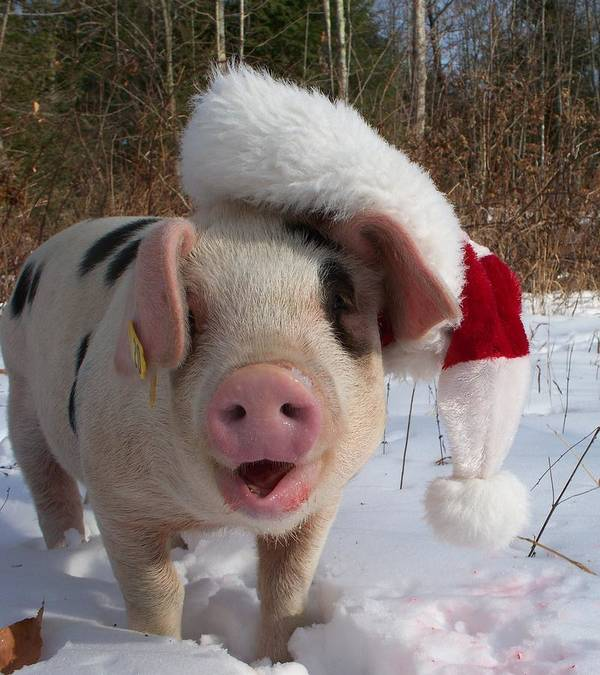 Pig Art Print featuring the photograph Christmas Pig by Samantha Howell