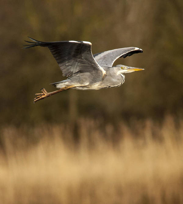 Heron Print featuring the photograph Heron In Flight by Simon West