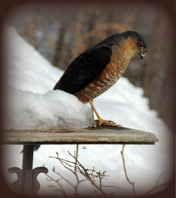 Hawk Art Print featuring the photograph Patience by Mim White