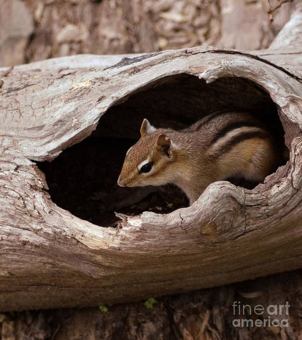 Chipmunk Art Print featuring the photograph Safe Place by Kathleen Struckle